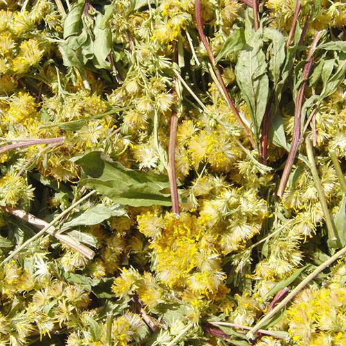 Травы Золотая розга (Золотарник) solidago-247.jpg