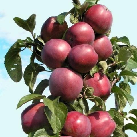 Яблоня колонновидная (подвой 62-396 карликовый) Джин