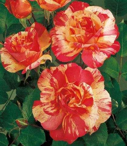 Роза парковая Токад (в тубе)