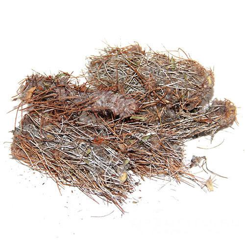 Травы Карагана гривастая (Верблюжий хвост) caragana-291.jpg