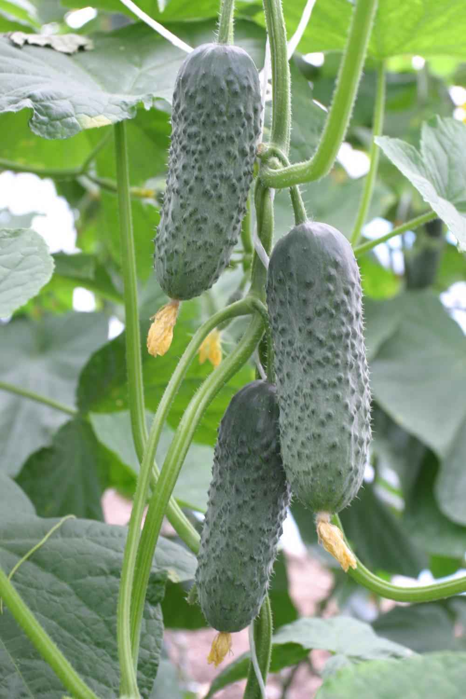 Каталог Динамит F1 семена огурца партенокарпического (Гавриш) F1_Динамит_1.jpg