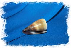Конус ливидус (Conus lividus)