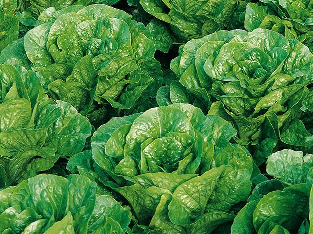 Салат Пиноккио семена салата ромэн (Enza Zaden / Энза Заден) Пиноккио.jpeg