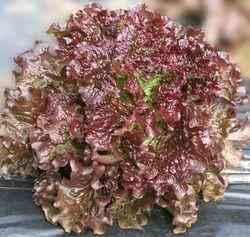 Каталог Меркурий семена салата батавия (Гавриш) Меркурий_1.jpeg