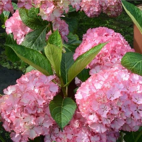 Гортензия крупнолистовая  (цветёт всё лето) Со Лонг Санни (С3)
