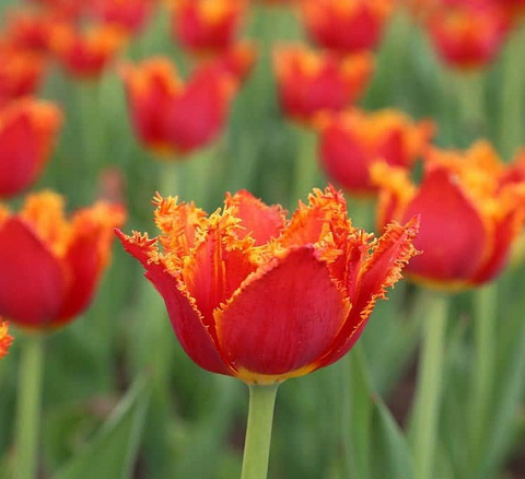 Тюльпан бахромчатый Люцифер (10 штук)