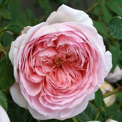 Роза английская душистая Херитейдж С6