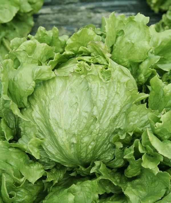 Каталог Патриций семена салата айсберг (Гавриш) Патриций.jpeg