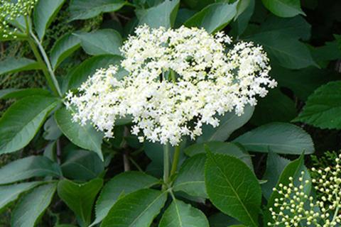 Бузина черная цветки в природе