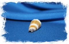 Морская раковина Conus muriculatus, Conus sugillatus