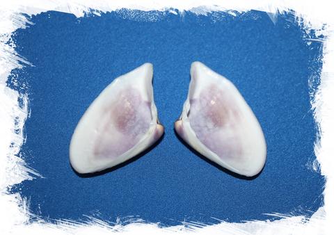 Донакс сетосум (Donax setosum)