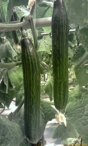 Огурец Церес F1 семена огурца партенокарпического (De Ruiter Seeds / Де Ройтер Сидс) ceres-2.jpg