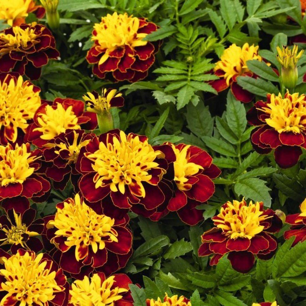 Цветы Семена цветов Бархатцы отклоненные Супер Хироу Спрай, Benary, 15 шт. marigold-spry-1000x1000_c.jpg
