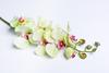 Салатовая орхидея.