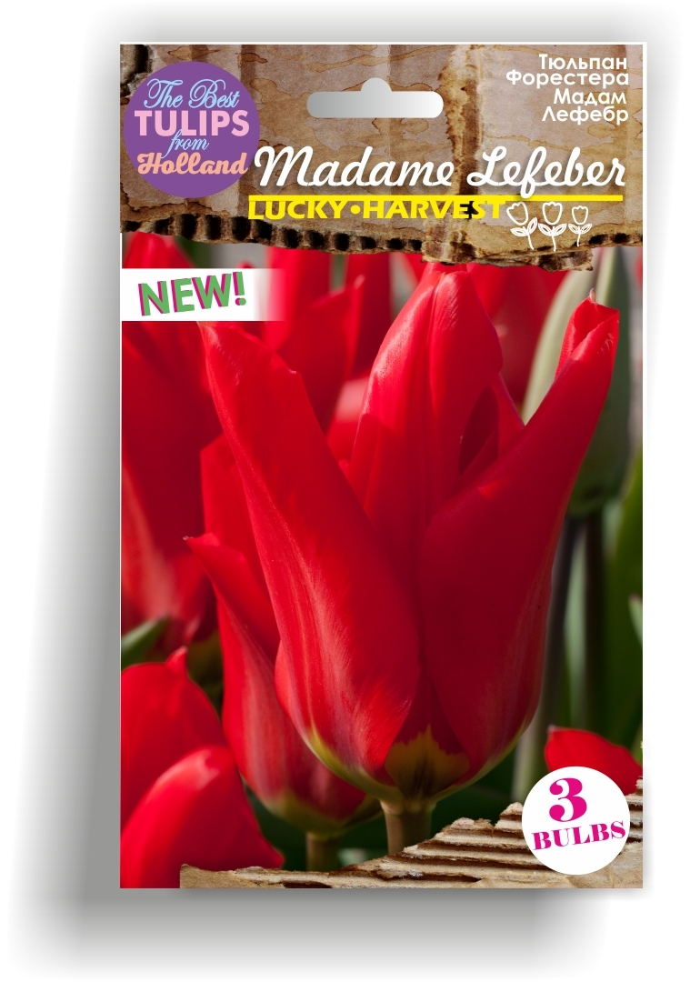 Тюльпан  Фостера MADAME LEFEBER (Мадам Лефебр) Нидерланды 3 шт