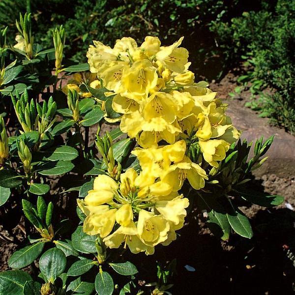 Рододендрон гибридный Goldkrone