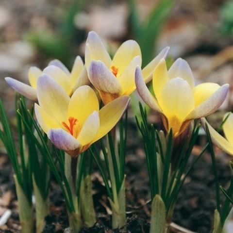 Крокус ботанический ранний Эдванс (10 шт.в упаковке)_sadguru