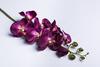 Темно-пурпурная орхидея.