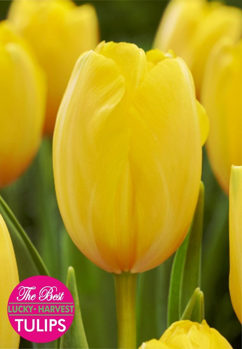 Тюльпан Триумф Авокадо