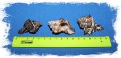 Мурекс Индивия 4,5 - 6 см