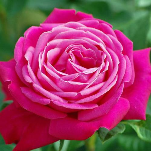 Роза чайно-гибридная Сентер Роял