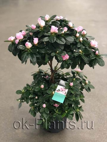 Азалия Индика Бледно-Розовая штамбовая