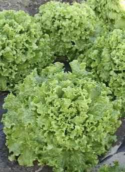 Каталог Абрек семена салата батавия (Гавриш) Салат_Абрек.jpeg