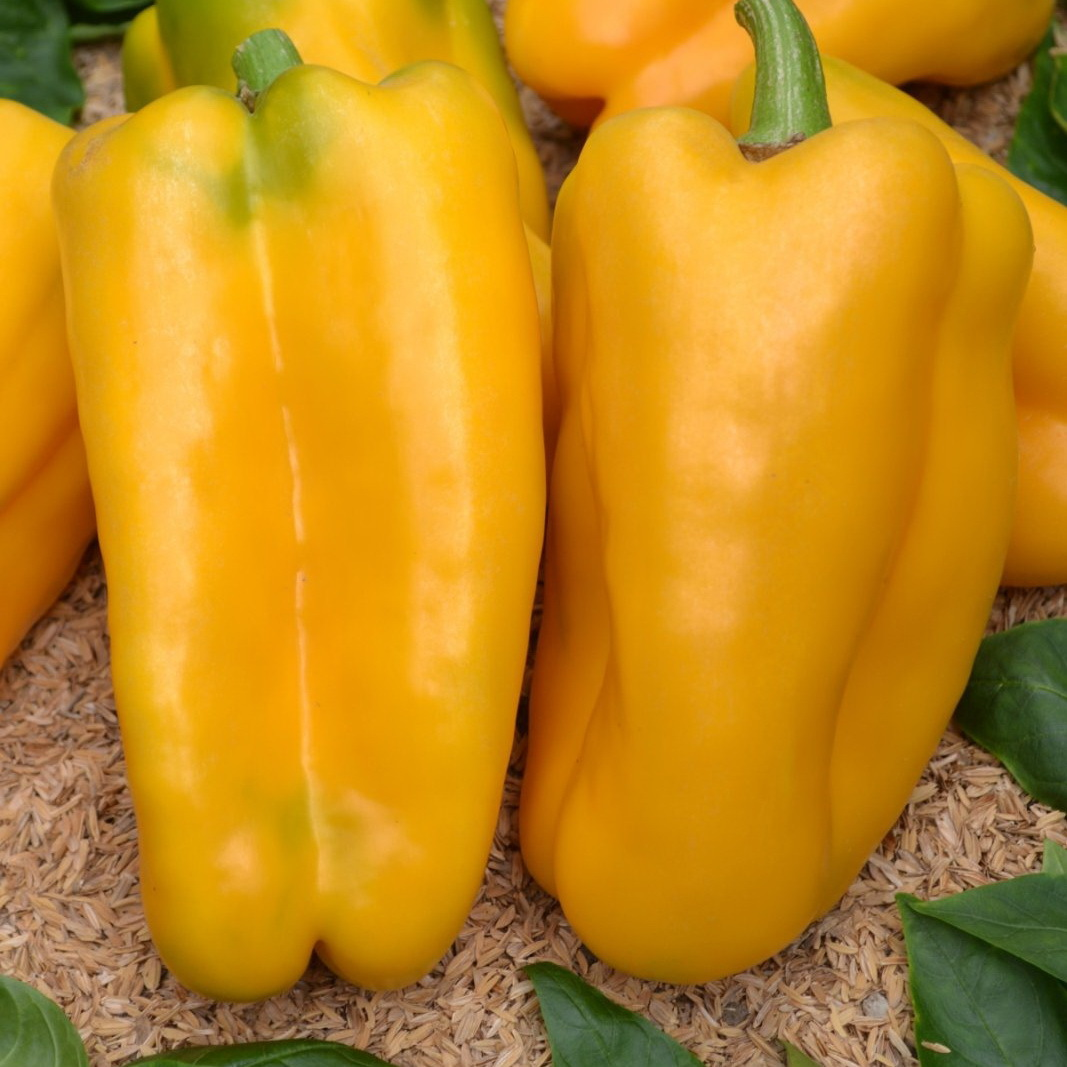 Перец Требия F1 семена перца сладкого (Sakata / Саката) Требия1.JPG