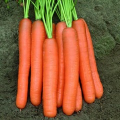 Cемена моркови Монанта,  Rijk Zwaan, 0,5 гр.