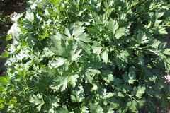 Тайга семена петрушки (Гавриш)