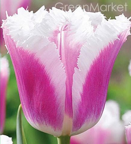 Тюльпан бахромчатый Сиеста (1шт)