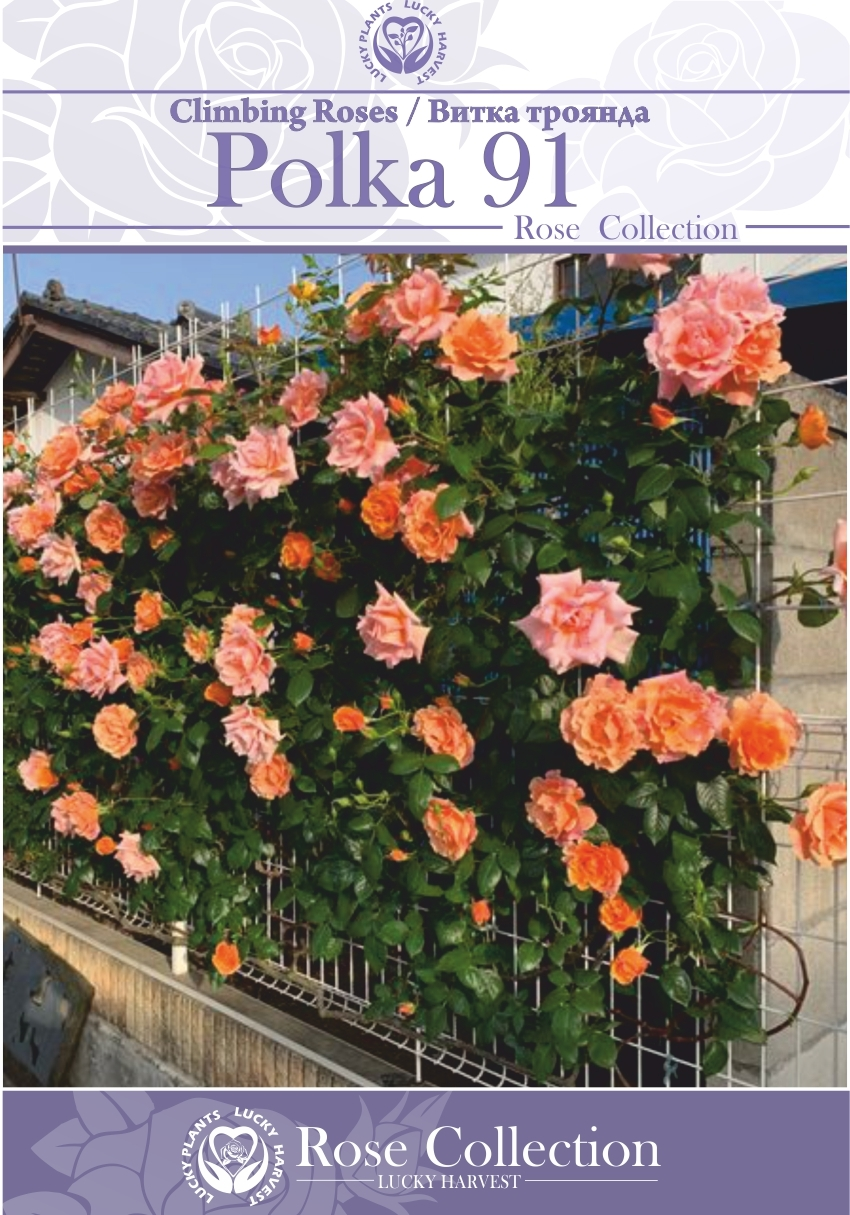 Троянда Витка Махрова