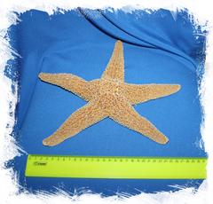 Морская звезда натуральная сушеная