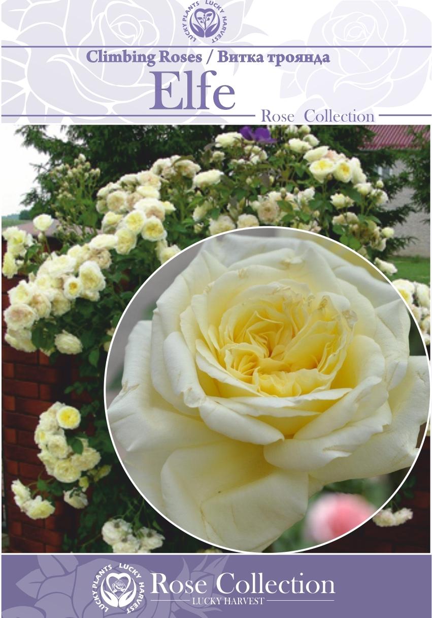 Троянда Витка Багатоквіткова