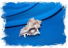 Хексаплекс кустеринатус, Hexaplex kusterianus