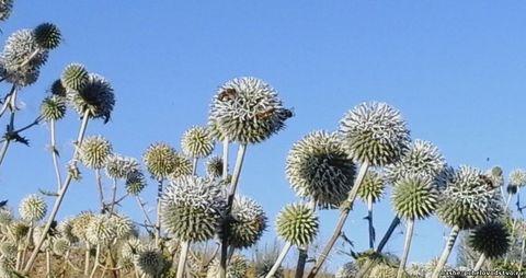 Семена мордовника шароголового - 10 кг
