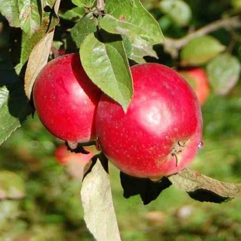 Яблоня осенняя Анис алый (3-летняя) / карл. подвой ОКС