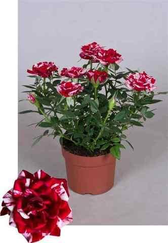 Роза кордана Джиджи