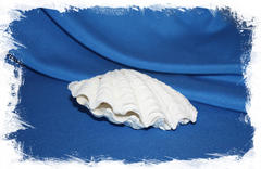 Декоративная морская раковина Тридакна