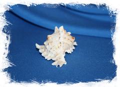 Ракушка Chicoreus bundharmai, Мурекс бандармаи