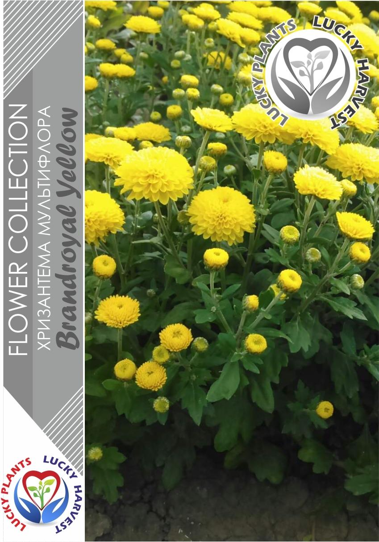 Хризантема  мультифлора  (Шаровидная)  Брендроял Еллоу (Chrysanthemum multiflora  Brandroyal Yellow)    ТМ LUCKY HARVEST