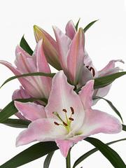 Лилия розовая (ветка)