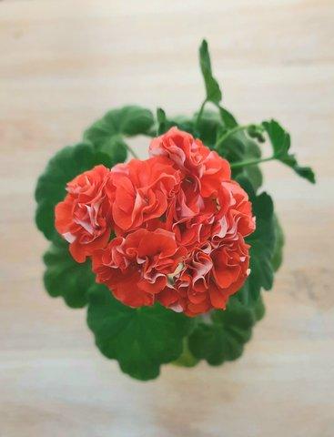 Пеларгония Orange Bud