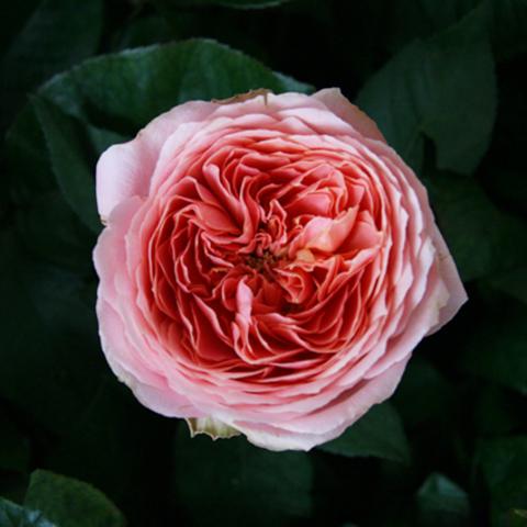 Розы пионовидные Romantic Antik от 9шт