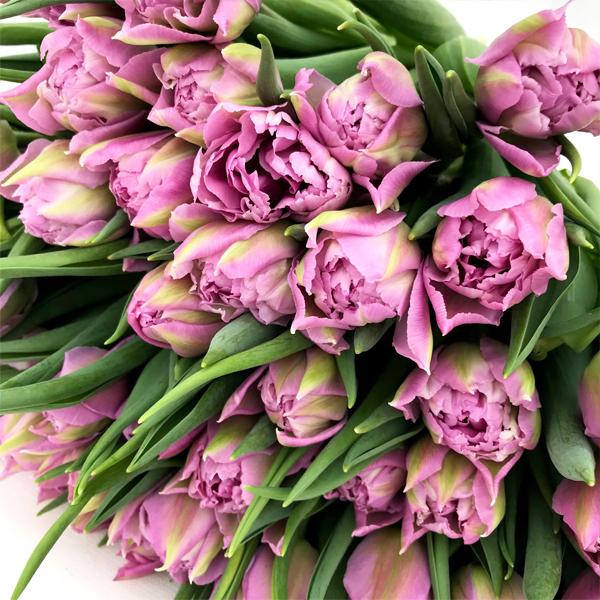 Тюльпан махровый лиловый