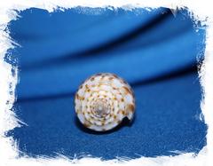 Конус аустралис (Conus australis)