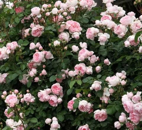 Роза парковая Синдерелла (в тубе)