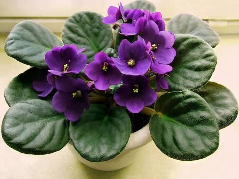 Фиалка фиолетовая