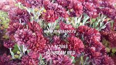 Хризантема мультифлора (шаровидная) Sunbeam Red №2093