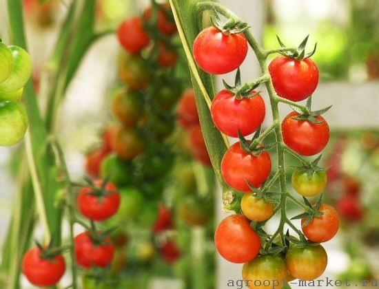 Nunhems Компетишн F1 семена томата индетерминантного (Nunhems / Нюнемс) компетишн.jpg